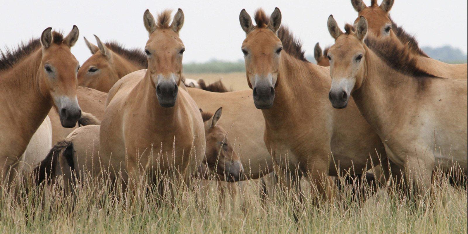 Аскания-Нова, лошади