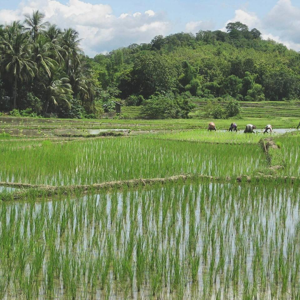 Рисовое поле в Вьетнаме