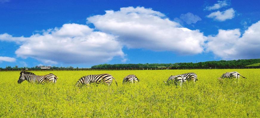 Аскания-Нова, зебры
