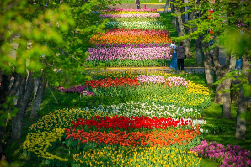 Цветение тюльпанов в Кировоградском (Кропивницком) дендропарке